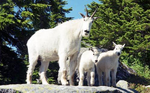 Mountain goats near the Eagle's Nest on Mt. Pilchuck