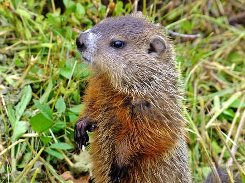 Groundhog at L\'anse Blanchette