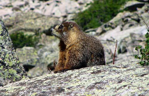 Capitol Lake marmot