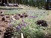 Pine Cones & Lupine in Yosemite