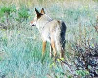 Rocky Mountain coyote