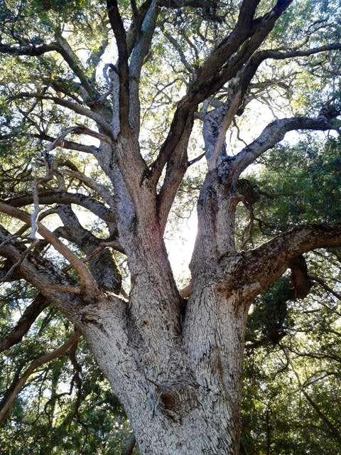 Ancient Live Oak