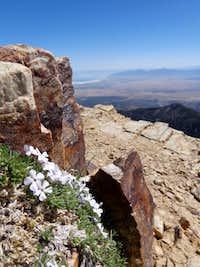 White flowers on summit