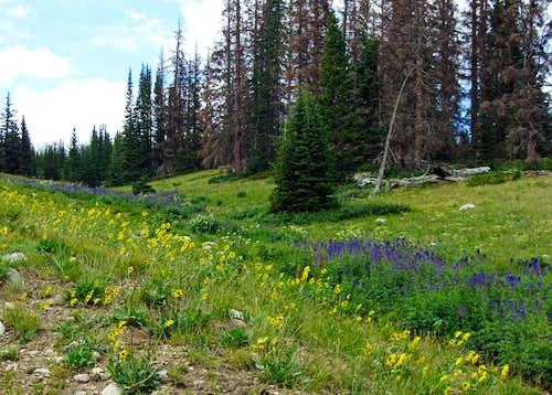 Snowy Range Byway wildflowers