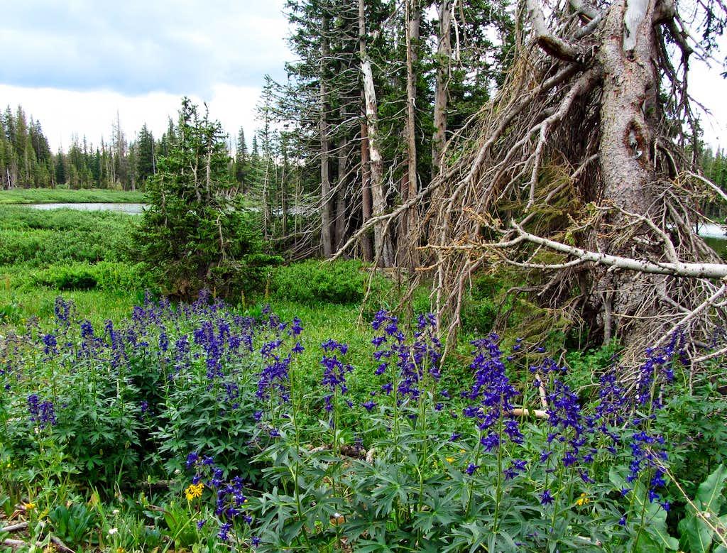 Snowy Range purple wildflowers