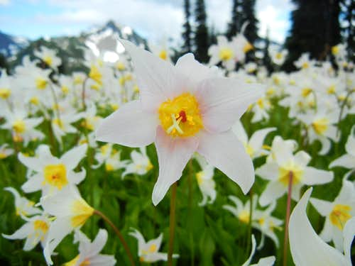 Pinkish Avalanche Lily