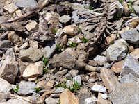 Dead bighorn sheep in the gully