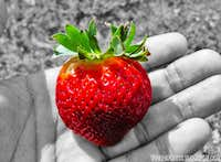 The big ecuadorian strawberry