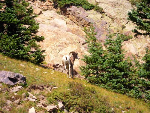 Ram on East Pecos Baldy
