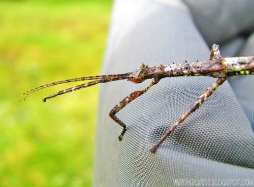 Walking stick insect <b><i>(Clonopsis gallica)</b></i> head close up