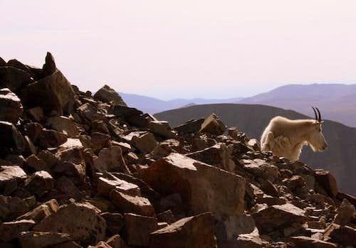 Torreys Mountain Goat