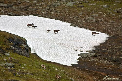 Reindeers on the run