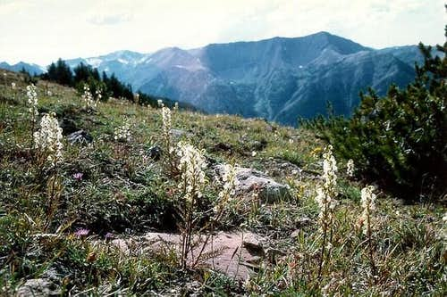 White coil-beaked lousewort...
