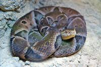 <b><i>Bothrops Moojeni</b></i>