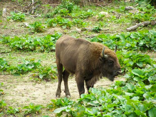 European bison in the Bieszczady Mountains