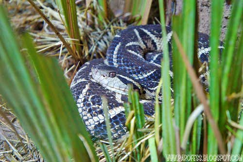 <b><i>Bothrops Jararacussu</b></i>
