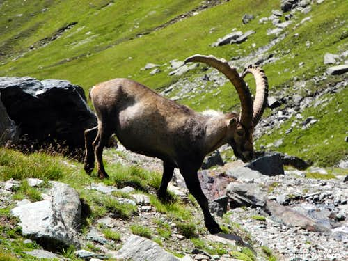 A big male of ibex in P.N.G.P.