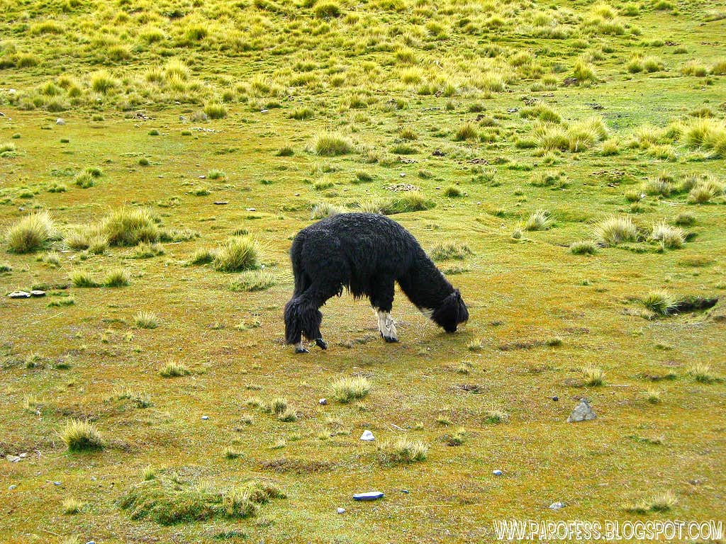 Alpaca at the approach trail to Condoriri