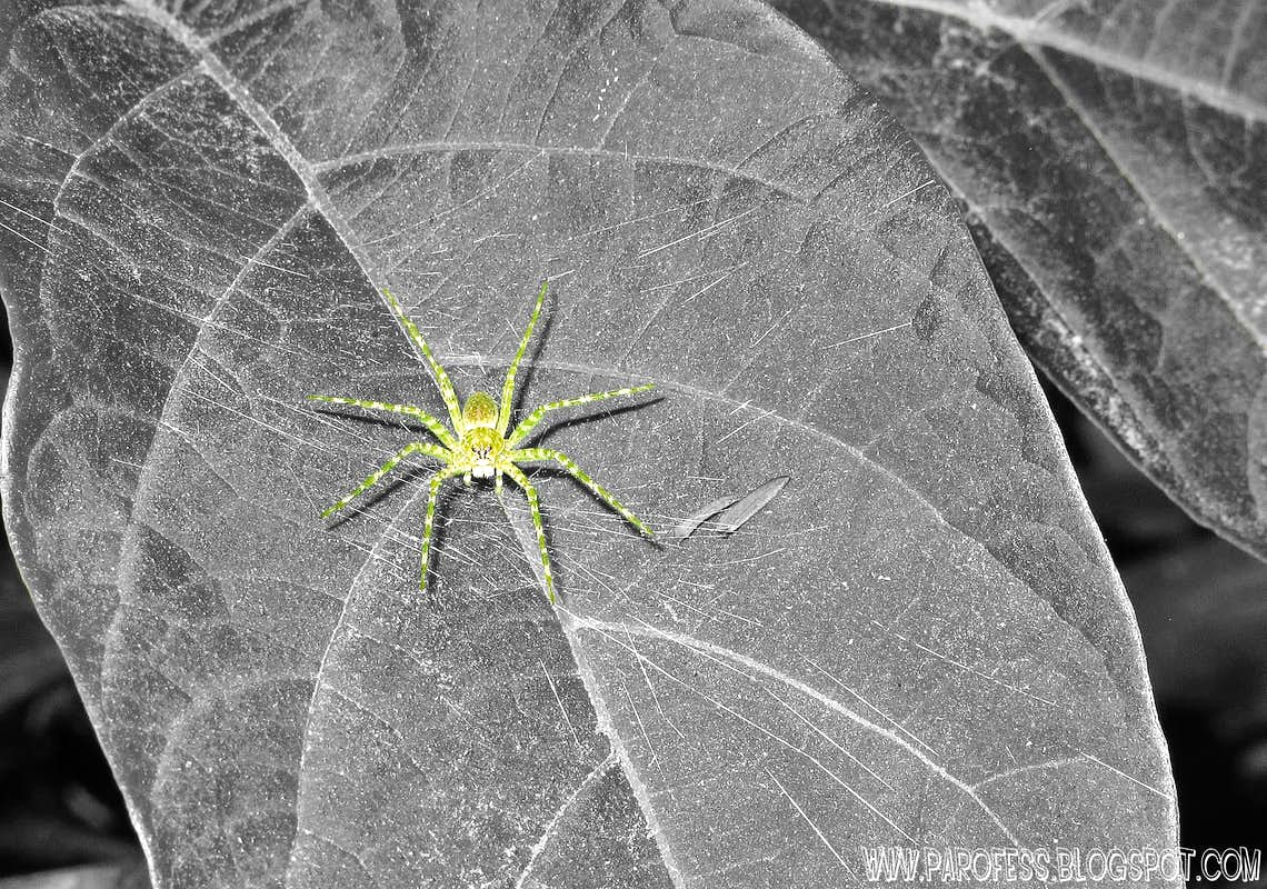 Green spider (<b><i>Architis sp</b></i>) in cutout