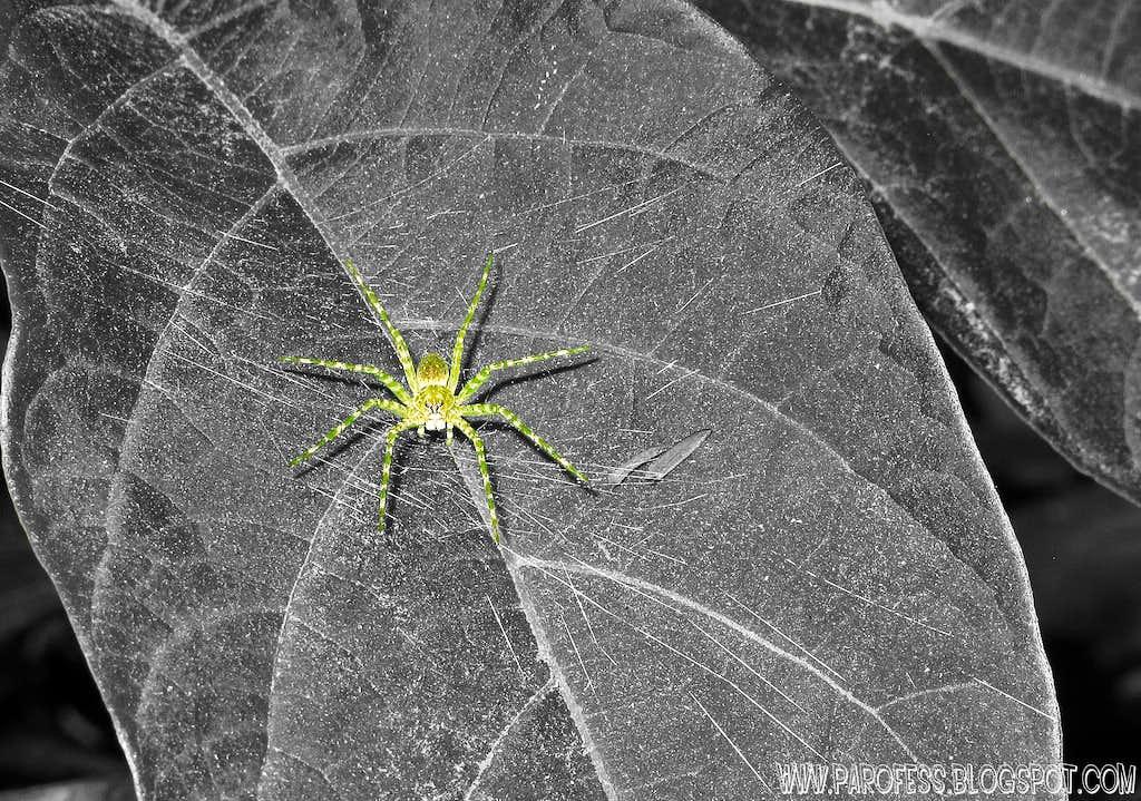 Green spider (<b><i>Architis sp</b></i>) in cutout