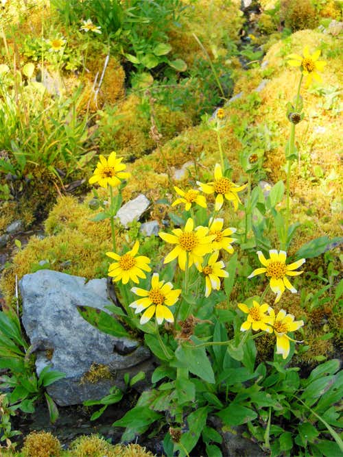 Clasping Arnica