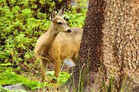Deer in Le Conte Canyon