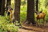 A couple of bucks in Le Conte Canyon