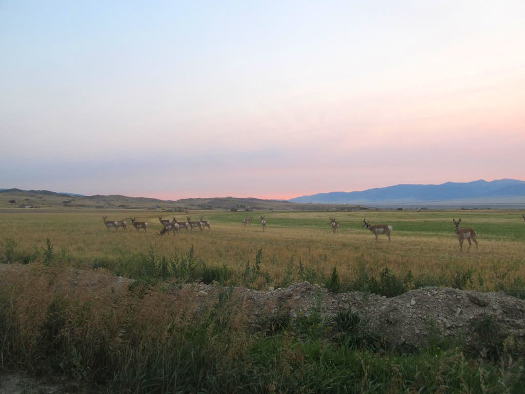 early AM pronghorns