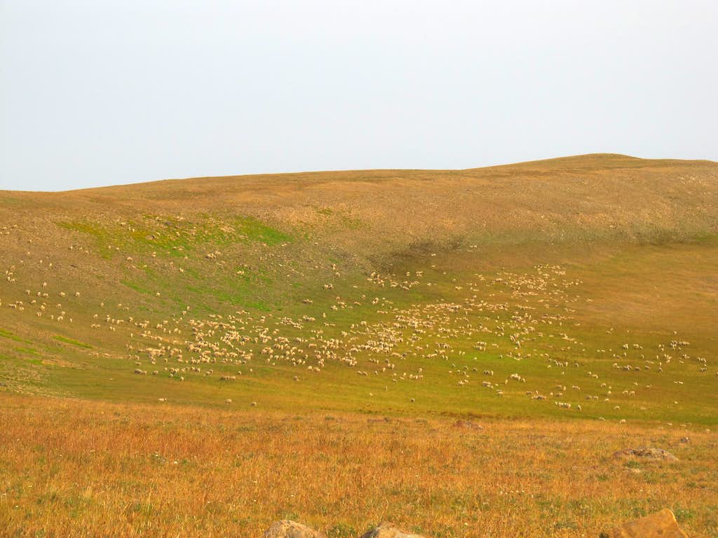 giant herd of sheep