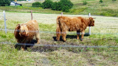 Malá Úpa highland cattle