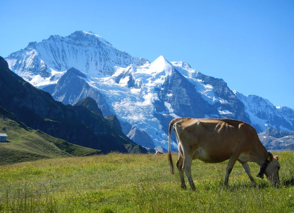 Jungfrau And Cow