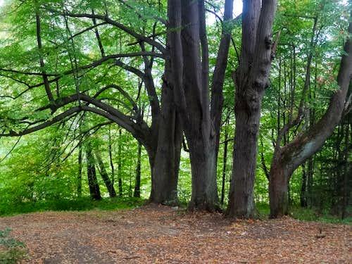 Nice beech tree