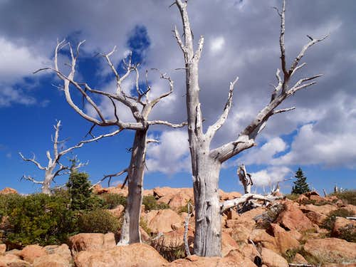 Ghost Forest Snag (c)