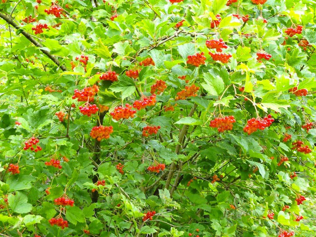 Fruits of European Cranberrybush