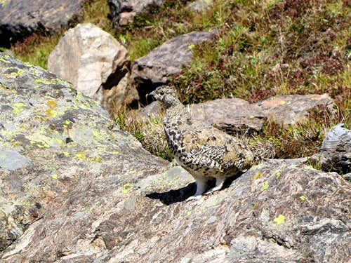 Ptarmigan, master of camouflage