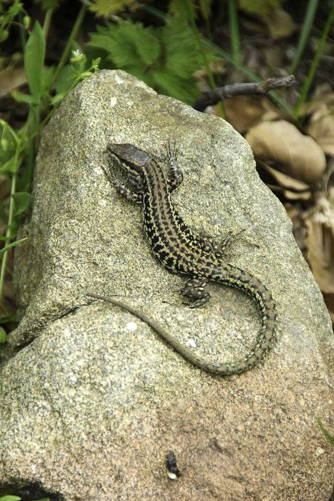 Posing Lizard