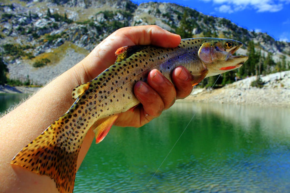 Green Cutthroat Trout Red Pine Lake Cutthroat Trout