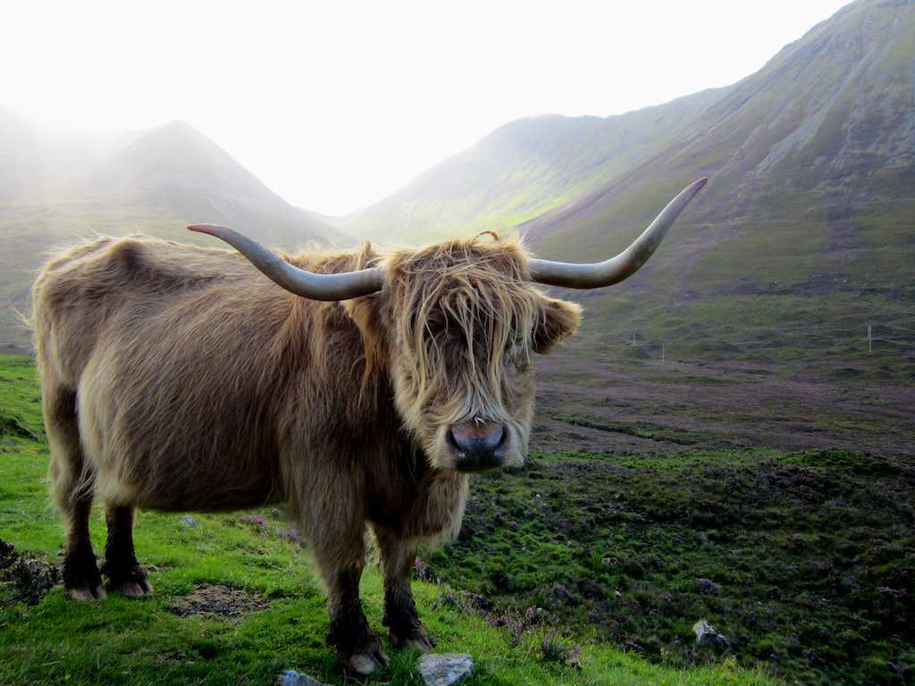 Mature Highland Bull