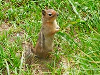 Cute Ground Squirrel at Cascade Pass