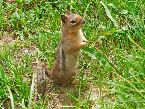 Cute Ground Squirrel at Cascade Pass