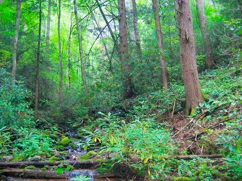 In the virgin hemlock forest...