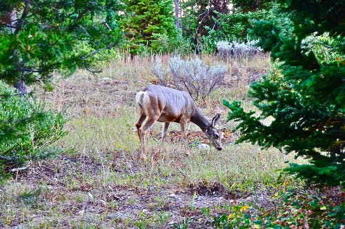 Mule Deer in The Grand Teton NP...