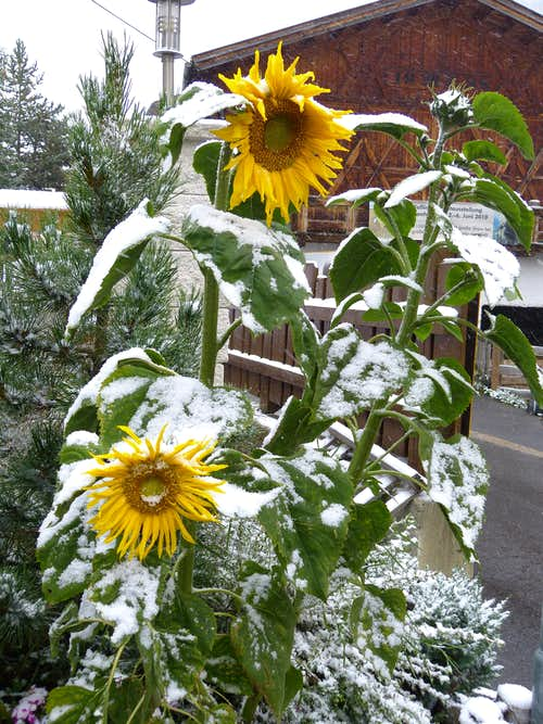 Sunflowers in the snow