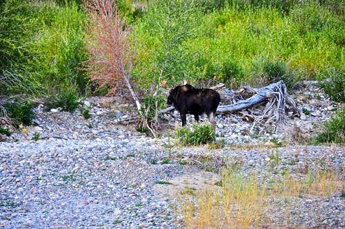 Grand Teton NP Moose