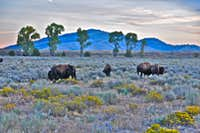 Buffalos near Kelly, Wyoming