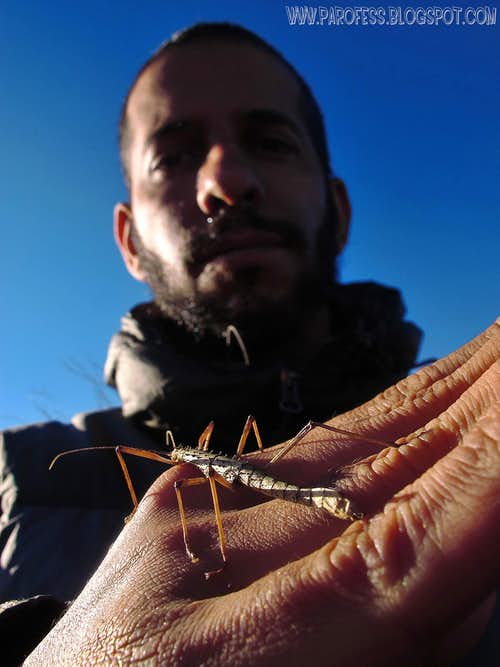 Walking Stick insect on my hand