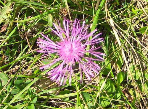 Centaurea - Flockenblume