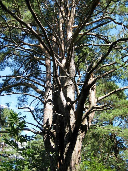 Pinus - Pine - Kiefer