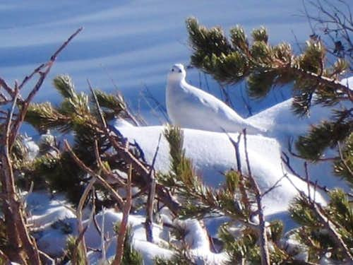 Ptarmigan in the snow at...