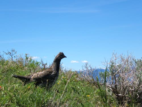 Grouse Chasing me Down